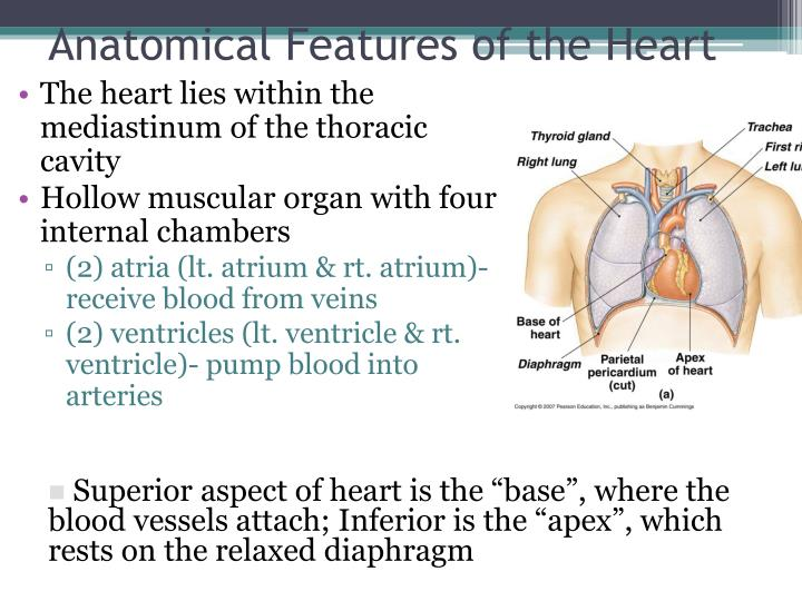 Anatomical Features of the Heart