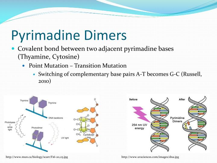 Pyrimadine Dimers