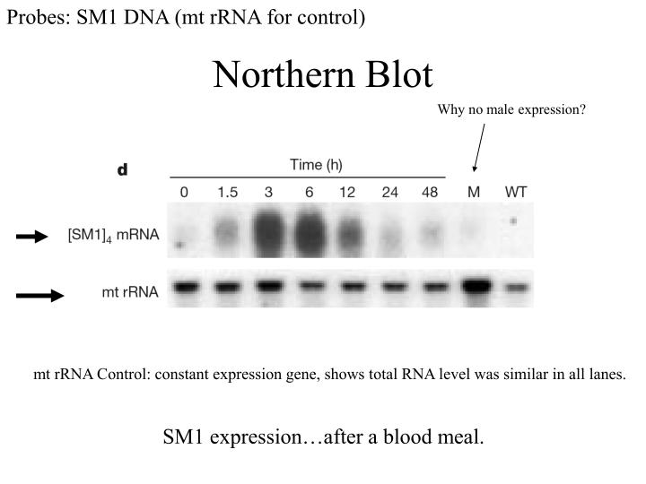 Probes: SM1 DNA (mt rRNA for control)