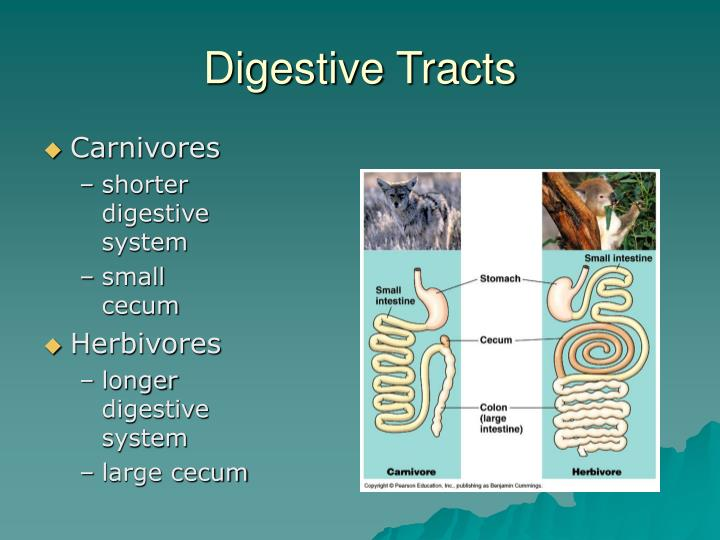 Digestive Tracts