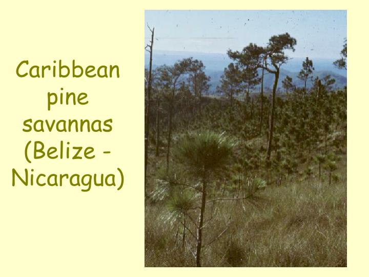 Caribbean pine savannas