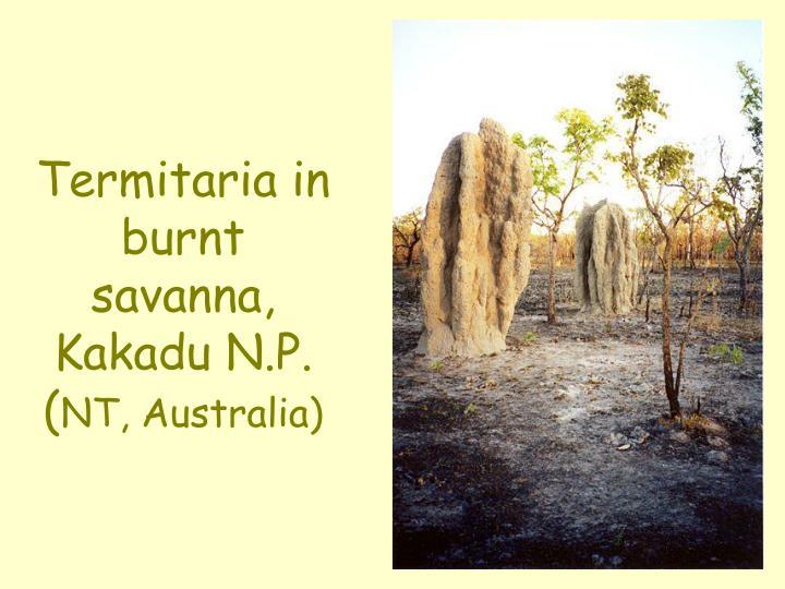 Termitaria in burnt savanna, Kakadu N.P. (