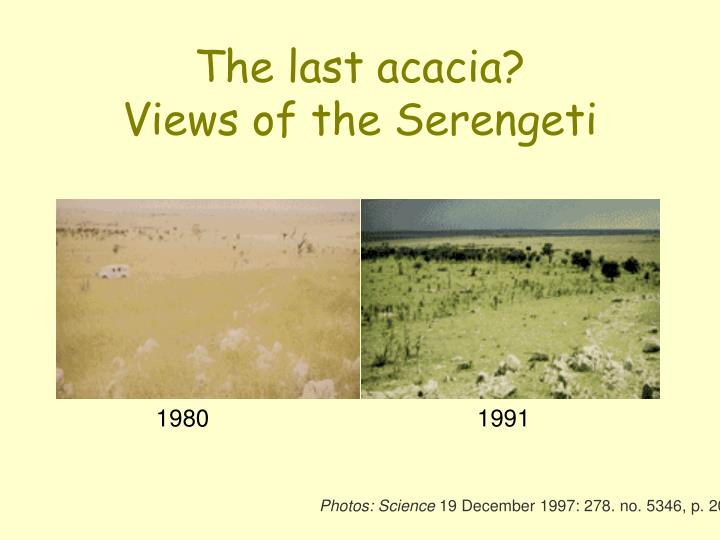 The last acacia?