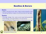 beetles borers