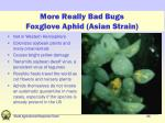 more really bad bugs foxglove aphid asian strain