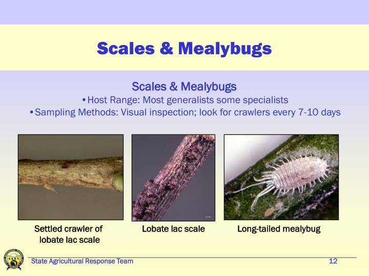 Scales & Mealybugs