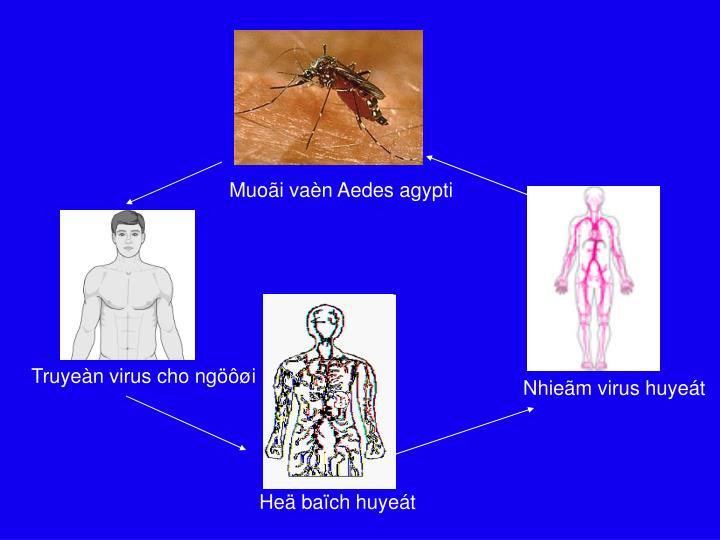 Muoãi vaèn Aedes agypti