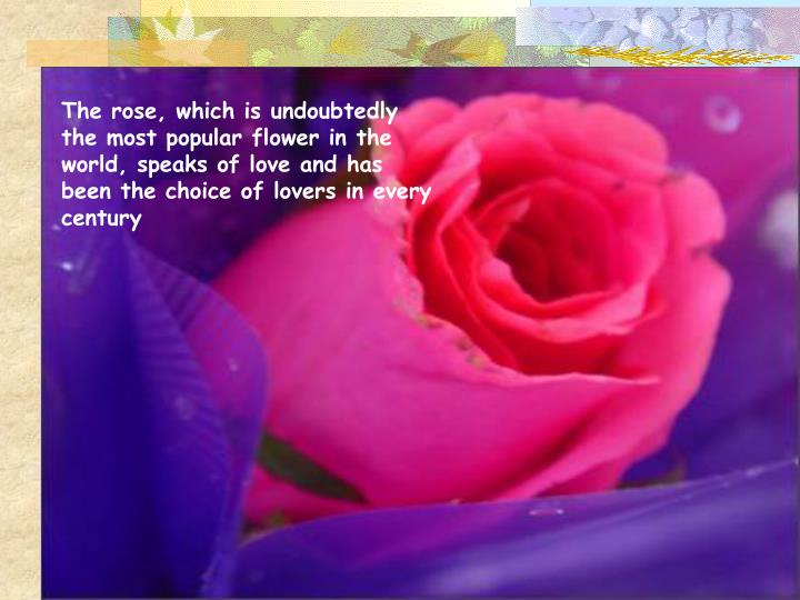 The rose, which is undoubtedly the most popular flower in the world, speaks of love and has been the choice of lovers in every century