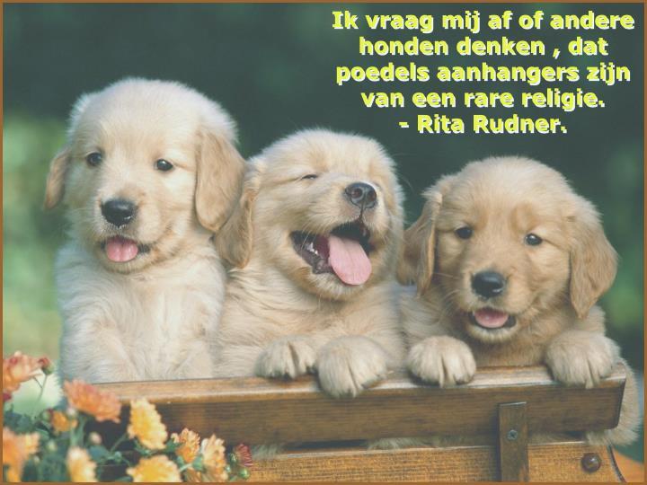 Ik vraag mij af of andere honden denken , dat poedels aanhangers zijn van een rare religie.