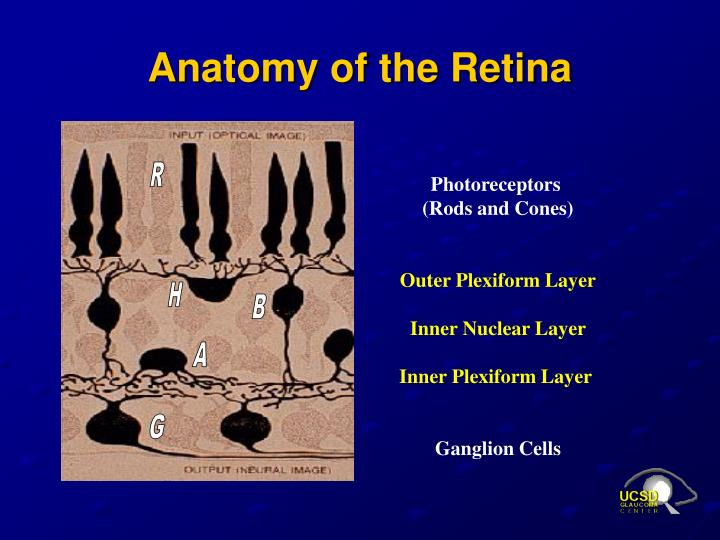 Anatomy of the Retina