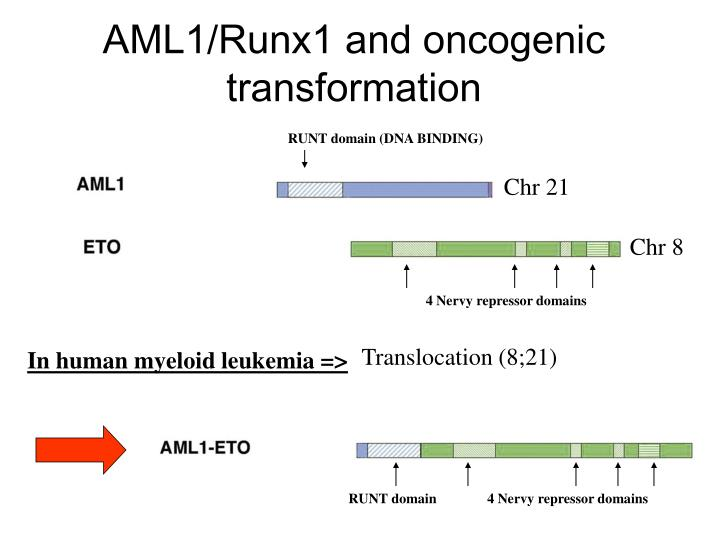 Aml1 runx1 and oncogenic transformation