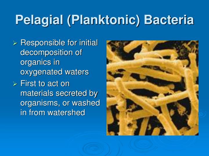 Pelagial (Planktonic) Bacteria