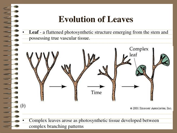 Evolution of Leaves