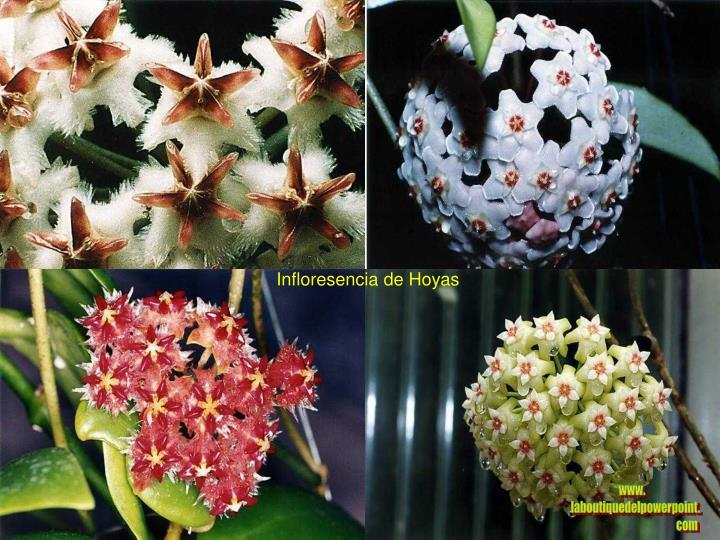 Infloresencia de Hoyas