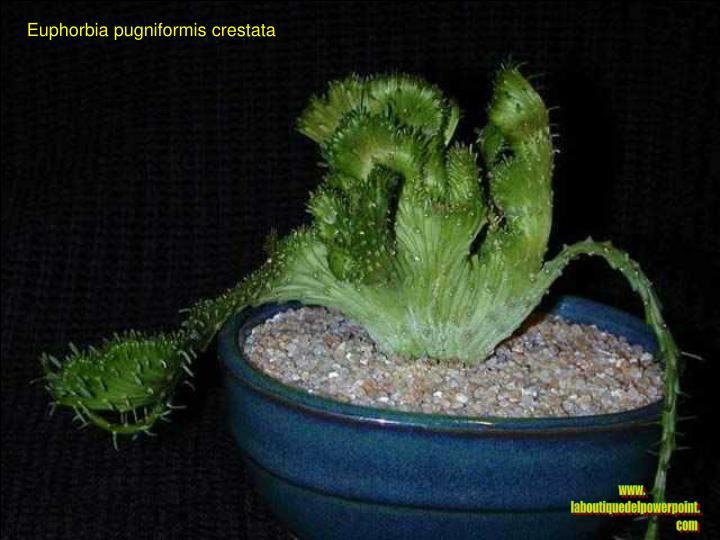 Euphorbia pugniformis crestata