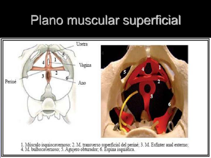 Plano muscular superficial