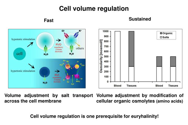 Cell volume regulation