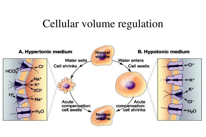 Cellular volume regulation
