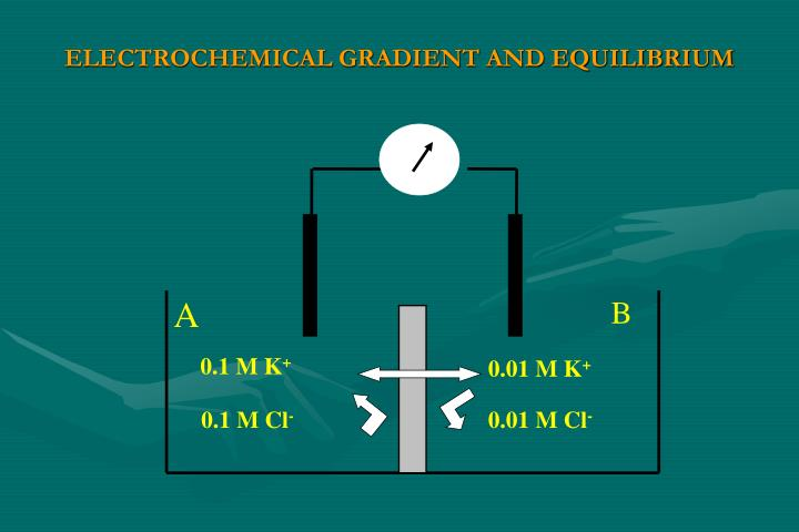 ELECTROCHEMICAL GRADIENT AND EQUILIBRIUM