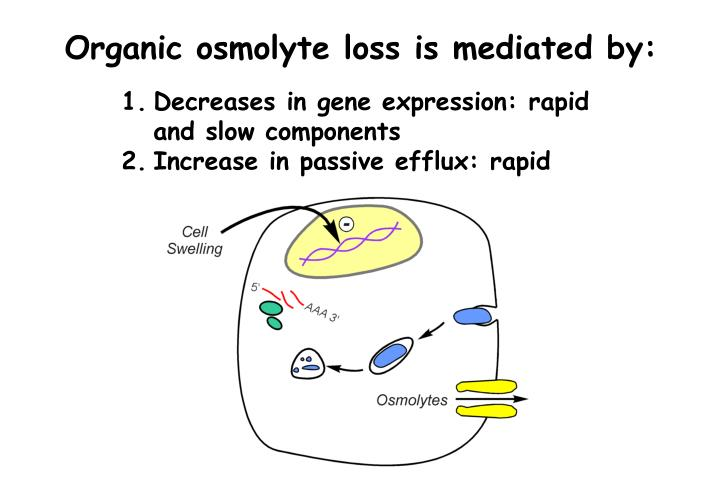 Organic osmolyte loss is mediated by: