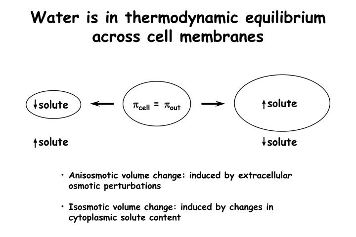 Water is in thermodynamic equilibrium across cell membranes