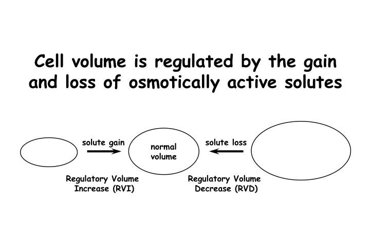 Cell volume is regulated by the gain and loss of osmotically active solutes