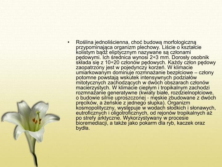 Roślina jednoliścienna, choć budową morfologiczną przypominająca organizm plechowy. Liście o kształcie kolistym bądź eliptycznym nazywane są członami pędowymi. Ich średnica wynosi 2÷3