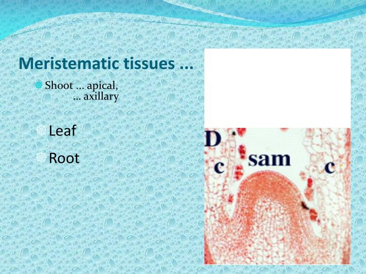 Meristematic tissues ...