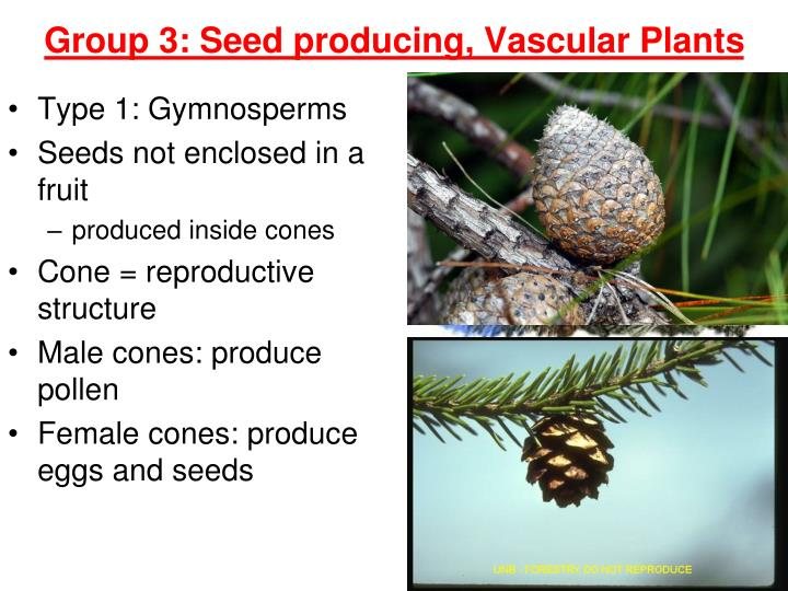Type 1: Gymnosperms