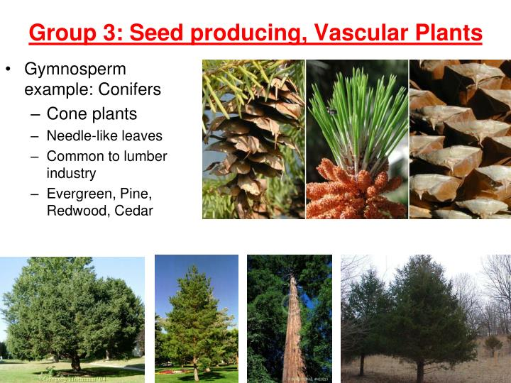 Gymnosperm example: Conifers