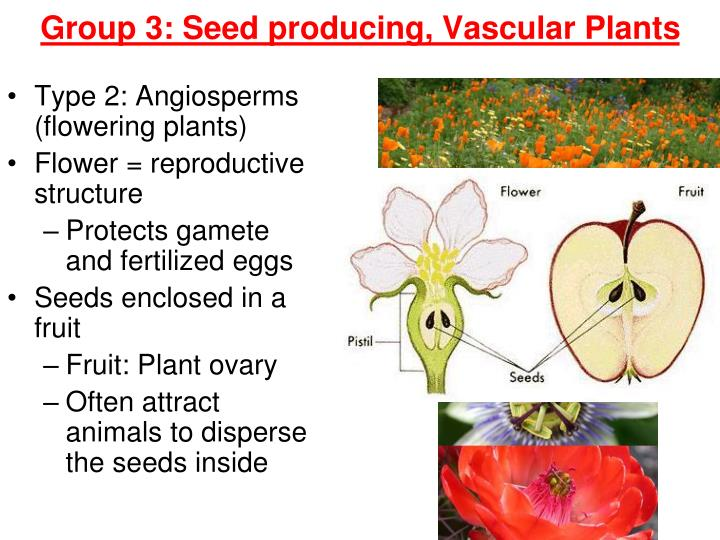Group 3: Seed producing, Vascular Plants