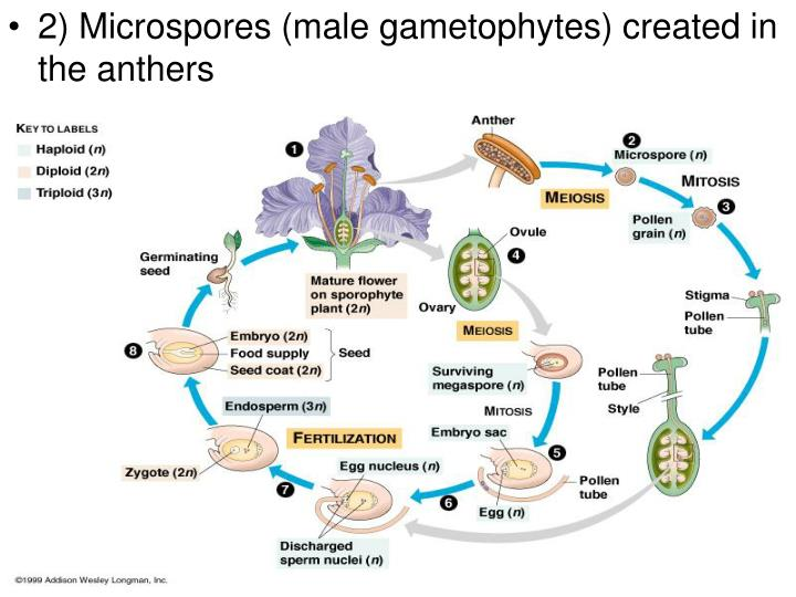 2) Microspores (male gametophytes) created in the anthers