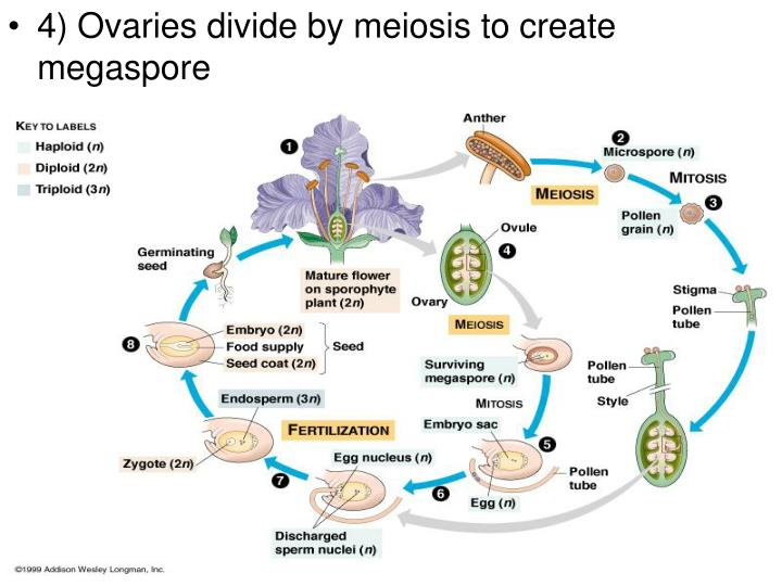 4) Ovaries divide by meiosis to create megaspore