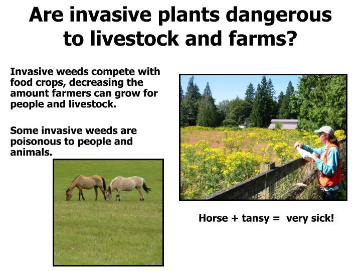 Are invasive plants dangerous to livestock and farms?