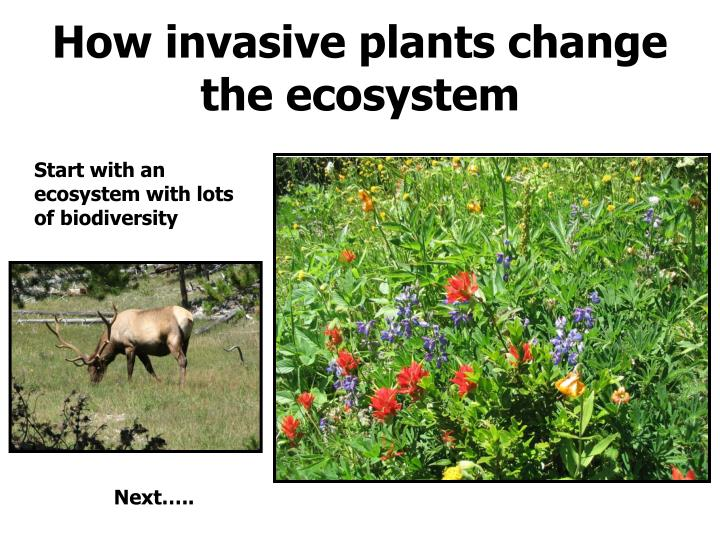 How invasive plants change the ecosystem
