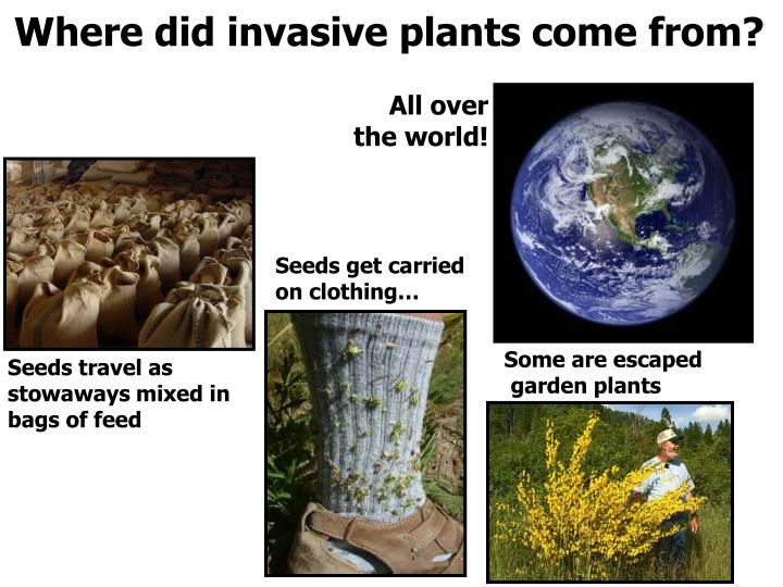 Where did invasive plants come from?