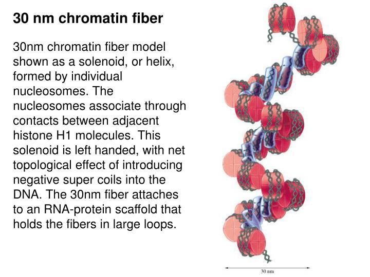30 nm chromatin fiber