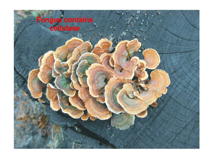 Fungus contains cellulase