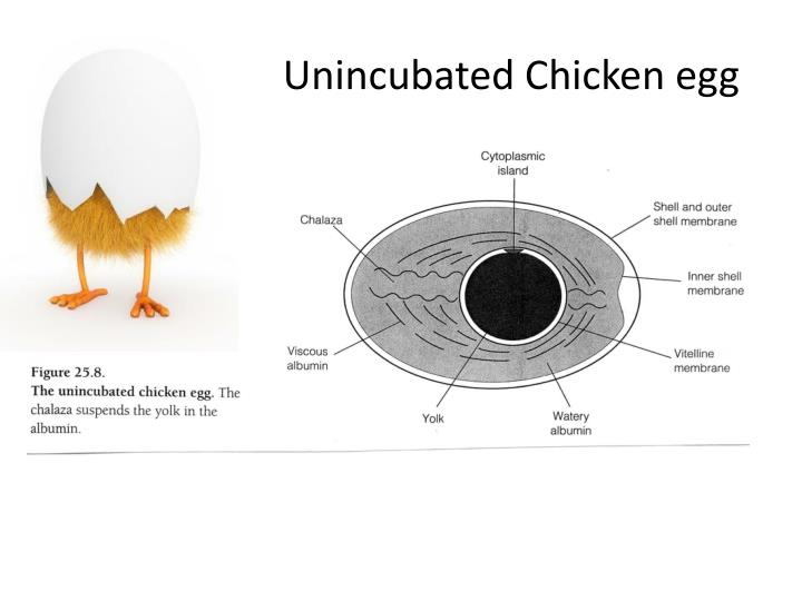 Unincubated