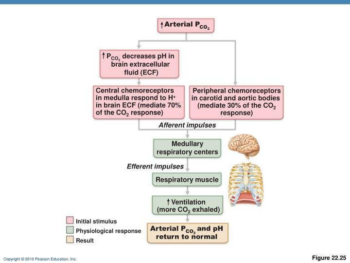 Arterial P