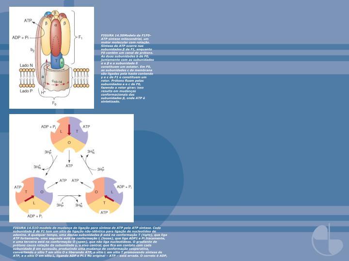 FIGURA 14.50Modelo da F1F0-ATP sintase mitocondrial, um motor molecular com rotação. Síntese de ATP ocorre nas subunidades β de F1, enquanto F0 contém um canal de prótons. As duas subunidades b de F0, juntamente com as subunidades α e β e a subunidade δ constituem um estator. Em F0, as subunidades c da membrana são ligadas pela haste contendo γ e ε de F1 e constituem um rotor. Prótons fluem pelas subunidades a e c de F0, fazendo o rotor girar; isso resulta em mudanças conformacionais das subunidades β, onde ATP é sintetizado.