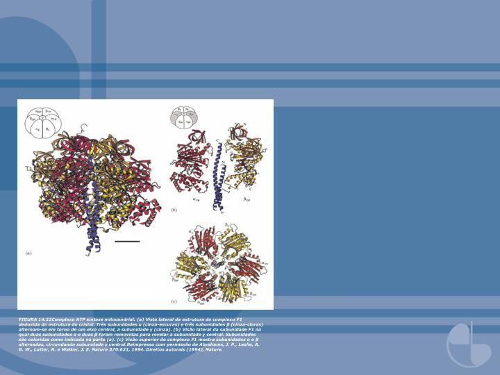 FIGURA 14.52Complexo ATP sintase mitocondrial. (a) Vista lateral da estrutura do complexo F1 deduzida da estrutura do cristal. Três subunidades α (cinza-escuras) e três subunidades β (cinza-claras) alternam-se em torno de um eixo central, a subunidade γ (cinza). (b) Visão lateral da subunidade F1 na qual duas subunidades α e duas β foram removidas para revelar a subunidade γ central. Subunidades são coloridas como indicada na parte (a). (c) Visão superior do complexo F1 mostra subunidades α e β alternadas, circundando subunidade γ central.Reimpresso com permissão de Abrahams, J. P., Leslie, A. G. W., Lutter, R. e Walker, J. E. Nature 370:621, 1994. Direitos autorais (1994), Nature.