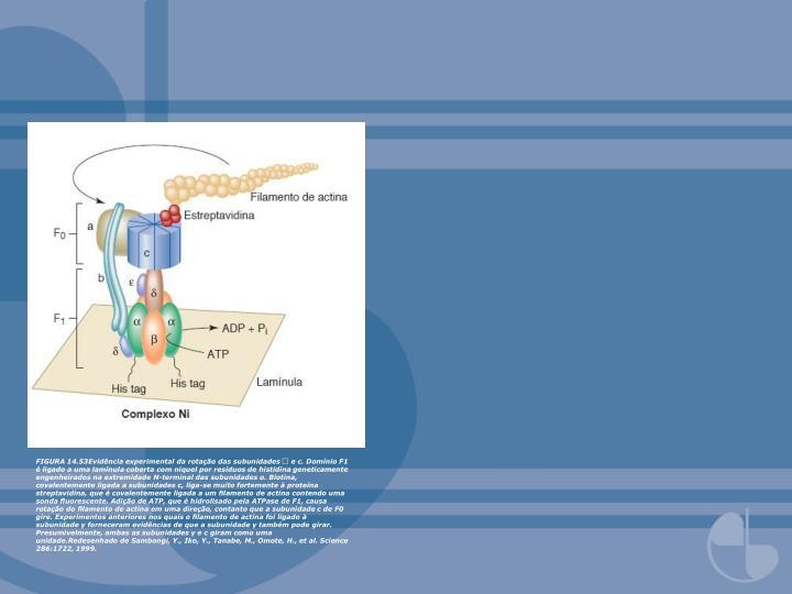 FIGURA 14.53Evidência experimental da rotação das subunidades  e c. Domínio F1 é ligado a uma lamínula coberta com níquel por resíduos de histidina geneticamente engenheirados na extremidade N-terminal das subunidades α. Biotina, covalentemente ligada a subunidades c, liga-se muito fortemente à proteína streptavidina, que é covalentemente ligada a um filamento de actina contendo uma sonda fluorescente. Adição de ATP, que é hidrolisado pela ATPase de F1, causa rotação do filamento de actina em uma direção, contanto que a subunidade c de F0 gire. Experimentos anteriores nos quais o filamento de actina foi ligado à subunidade γ forneceram evidências de que a subunidade γ também pode girar. Presumivelmente, ambas as subunidades γ e c giram como uma unidade.Redesenhado de Sambongi, Y., Iko, Y., Tanabe, M., Omote, H., et al. Science 286:1722, 1999.