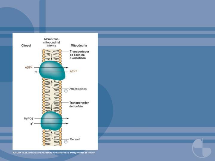 FIGURA 14.55A translocase de adenina nucleotídeos e o transportador de fosfato.