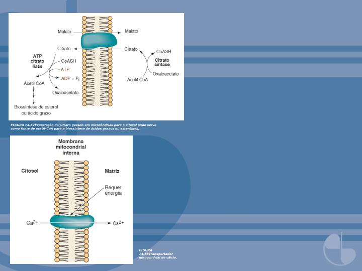 FIGURA 14.57Exportação de citrato gerado em mitocôndrias para o citosol onde serve como fonte de acetil-CoA para a biossíntese de ácidos graxos ou esteróides.