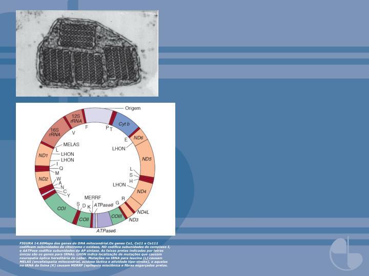 FIGURA 14.60Mapa dos genes do DNA mitocondrial.Os genes Co1, Co11 e Co111 codificam subunidades da citocromo c oxidase, ND codifica subunidades do complexo I, e AATPase codifica subunidades da AP sintase. As faixas pretas indicadas por letras únicas são os genes para tRNAs. LHON indica localização de mutações que causam neuropatia óptica hereditária de Leber. Mutações no tRNA para leucina (L) causam MELAS (encefalopatia mitocondrial, acidose láctica e atividade tipo-stroke), e aquelas no tRNA da lisina (K) causam MERRF (epilepsia mioclônica e fibras esgarçadas pretas.