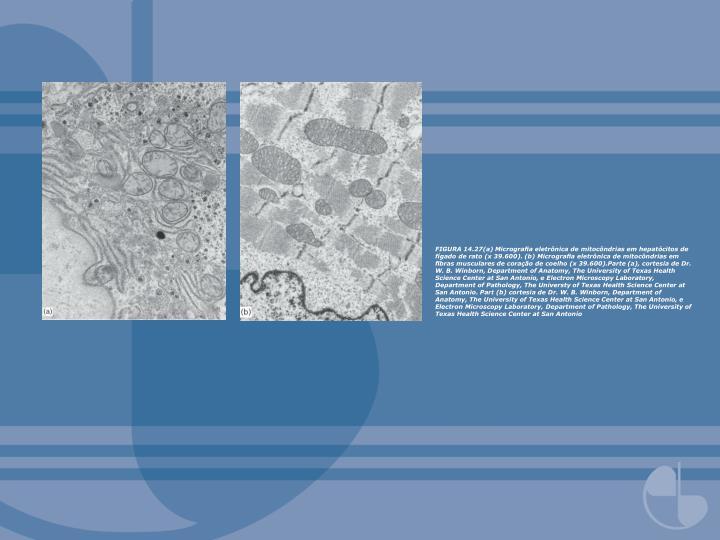 FIGURA 14.27(a) Micrografia eletrônica de mitocôndrias em hepatócitos de fígado de rato (x 39.600). (b) Micrografia eletrônica de mitocôndrias em fibras musculares de coração de coelho (x 39.600).Parte (a), cortesia de Dr. W. B. Winborn, Department of Anatomy, The University of Texas Health Science Center at San Antonio, e Electron Microscopy Laboratory, Department of Pathology, The Universty of Texas Health Science Center at San Antonio. Part (b) cortesia de Dr. W. B. Winborn, Department of Anatomy, The University of Texas Health Science Center at San Antonio, e Electron Microscopy Laboratory, Department of Pathology, The University of Texas Health Science Center at San Antonio