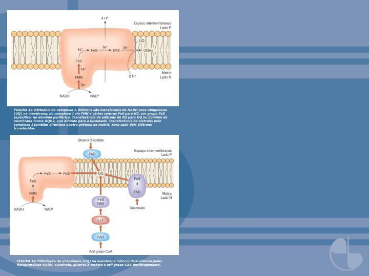 FIGURA 14.34Modelo do complexo I. Elétrons são transferidos de NADH para ubiquinona (UQ) na membrana, do complexo I via FMN e vários centros FeS para N2, um grupo FeS específico, no domínio periférico. Transferência de elétrons de N2 para UQ no domínio da membrana forma UQH2, que difunde para a bicamada. Transferência de elétrons pelo complexo I também direciona quatro prótons da matriz, para cada dois elétrons transferidos.