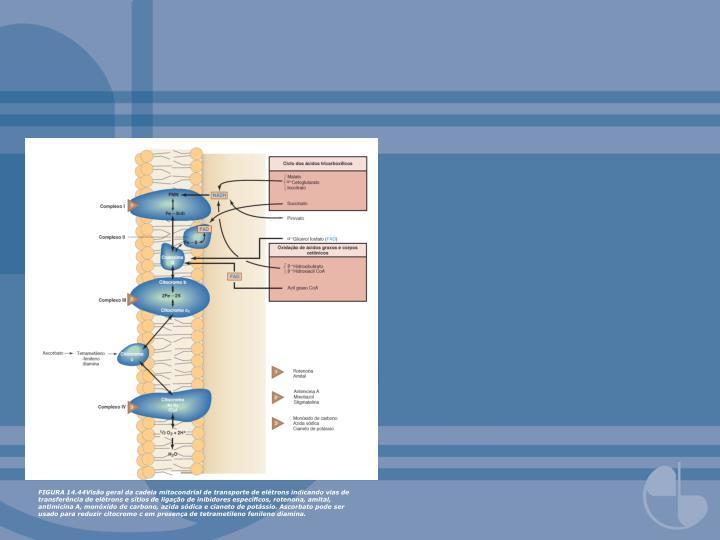 FIGURA 14.44Visão geral da cadeia mitocondrial de transporte de elétrons indicando vias de transferência de elétrons e sítios de ligação de inibidores específicos, rotenona, amital, antimicina A, monóxido de carbono, azida sódica e cianeto de potássio. Ascorbato pode ser usado para reduzir citocromo c em presença de tetrametileno fenileno diamina.