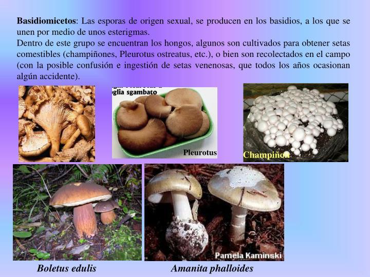 Basidiomicetos